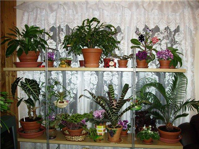 цветы  комнатные