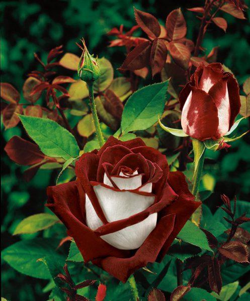 Гибридные розы